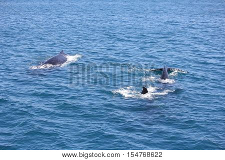 Pod of Humpback Whales Hervey Bay Australia