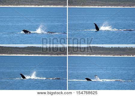 Humpback Whales Fin Hervey Bay Australia