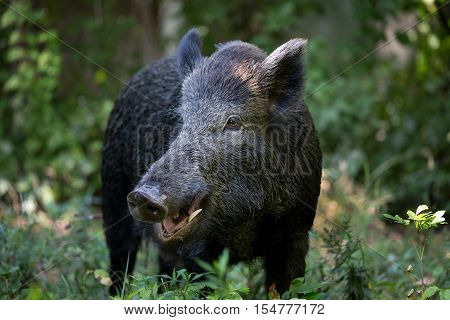 Portrait of cute wild boar with open mouth in high grass in forest