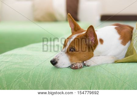 Indoor portrait of boring basenji lying on a green sofa.