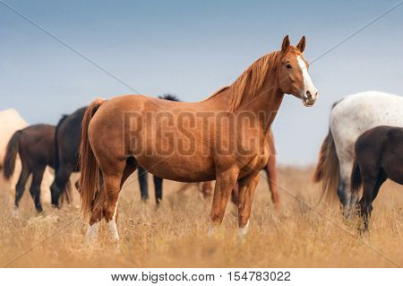 Red mare on autumn pasture in herd