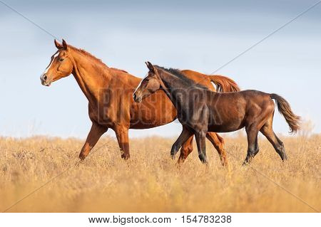 Mare and foal run on outomn pasture