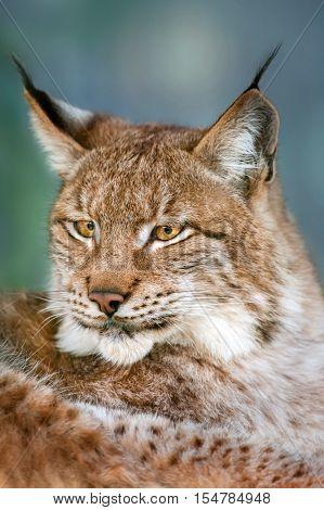 Siberian lynx head shot portrait outdoor close up