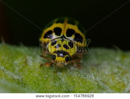Yellow ladybug eating on a green leaf