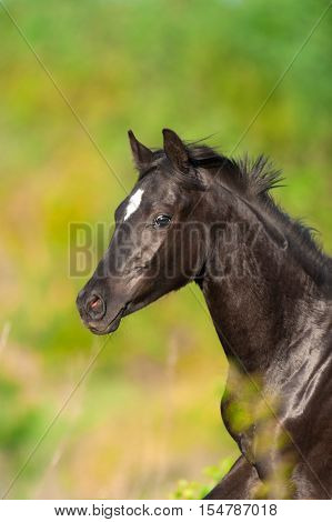 Black cute horse portrait in motion outdoor