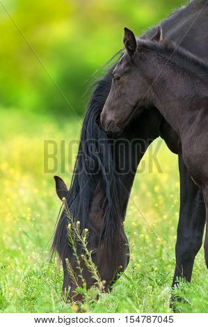 Foal and mare on spring pasture with yellow flowers