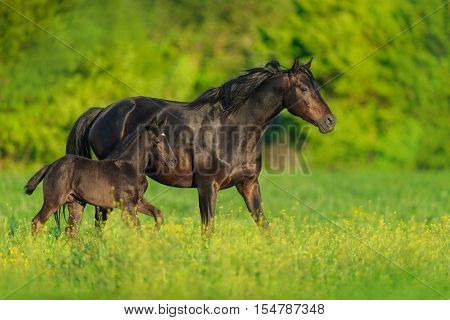 Mare with foal trotting on green  pasture