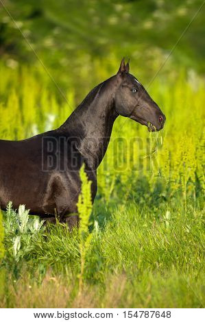 Black akhal-teke horse portrait on green background