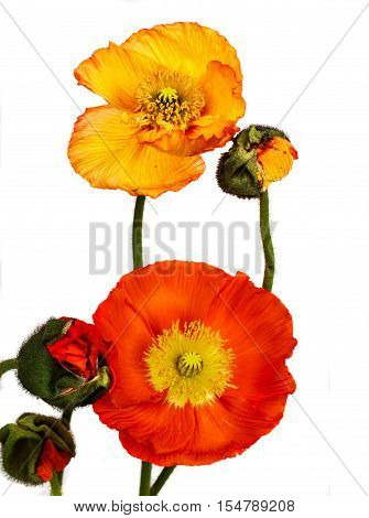 poppies Isolated on white background . Flower