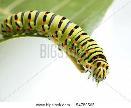 Vermin Caterpillar On Green Leaf