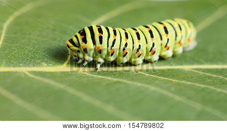 Macro Of Vermin Caterpillar