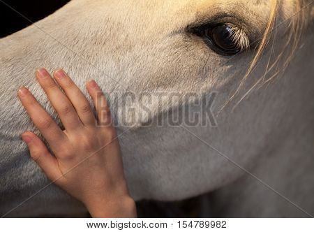 Little girl patting a white horse by gently caressing his head with palm of her hand.