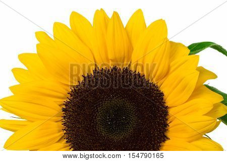 Sunflower isolated on white background . Flower