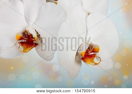 orchid on the white background . Flower