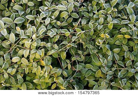 Green leaves of periwinkle in the frosty morning in the garden