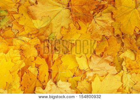 Maple Yellow Leaves Background Texture.