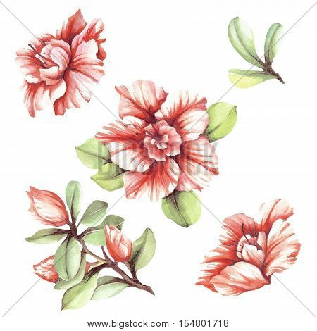 Set with flowers azaleas. Hand draw watercolor illustration.