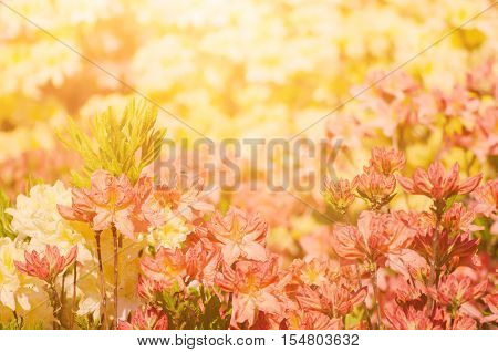 Blossoming of pink and red rhododendrons and azaleas in the garden, natural flower background with sunshine