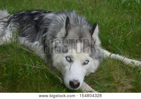 Very attractive Siberian husky dog in grass.