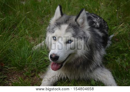 Very happy Siberian husky dog with a mischevious face