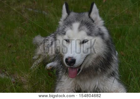 Siberian husky dog who is dozing in the grass.