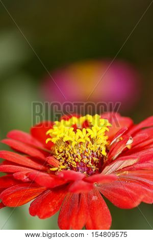 Red zinnia has purple with zinnia in background