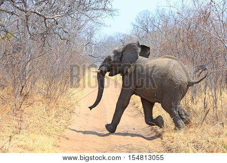 Action shot of one of the presidential elephanst running out from the bushes across the road with tail and ears flapping