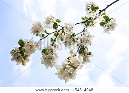 Blooming branch of the apple tree against the blue sky background.