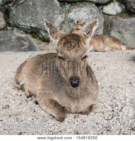 Deer sleeping in Miyajima island Hiroshima Japan