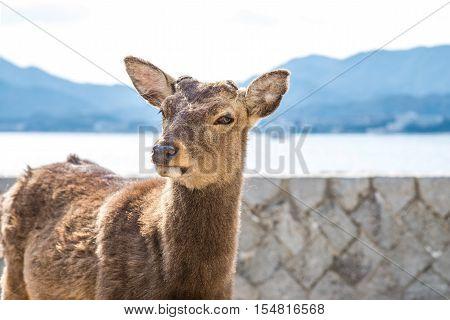 Tame deer resting on the streets of Miyajima Island (Itsukushima) Japan.