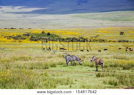 Zebra grazing in the flowering savannah at Ngorongoro Crater Conservation Area, Tanzania. East Africa