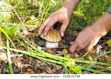 The search for mushrooms in the woods. Mushroom picker. A young man cuts a white mushroom with a knife. Men hands, knife, mushroom.