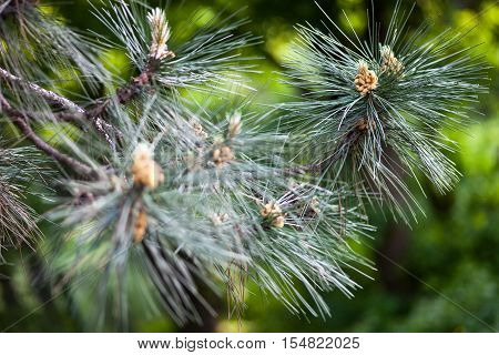 Scots pine branches with yellow pollen-producing male cones