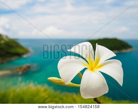 White frangipani (plumeria) flowers on sea island at phuket Thailand as background
