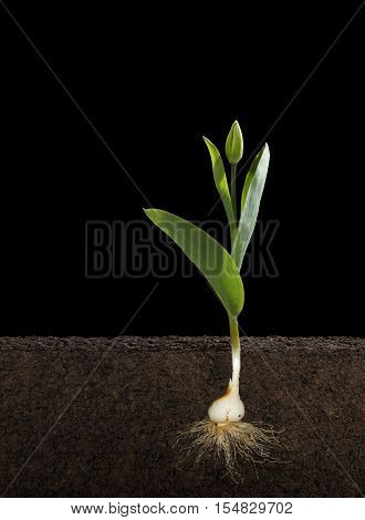 Cut Away of a Tulipa Gesneriana or Tulip and Root System with a Black Background