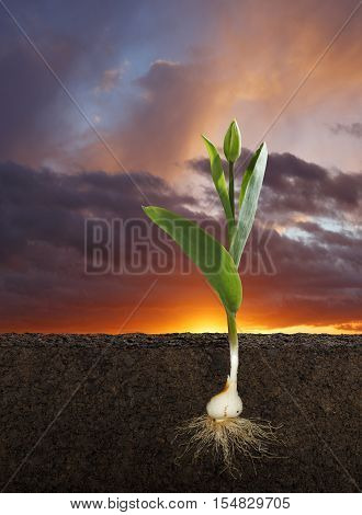Cut Away of a Tulipa Gesneriana or Tulip and Root System with a Sunset Sky