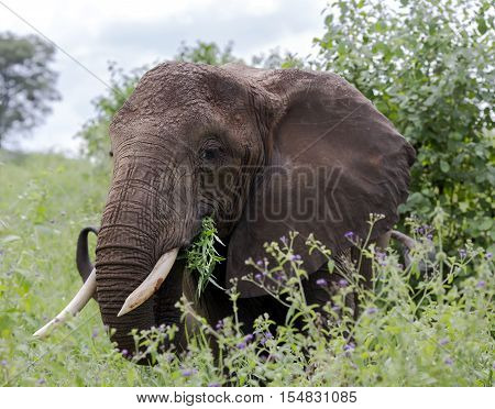 African bush elephant (Loxodonta africana) with large wide ears grazing in the meadows of the savannah in Tarangire National Park, Tanzania.The African bush elephant is the largest and heaviest land animal on earth.