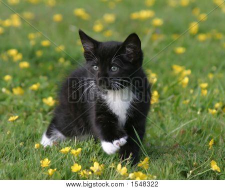 Black And White Kitten Walking In Field Of Buttercups