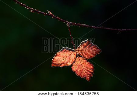 Backlit red leaves of bramble in autumn