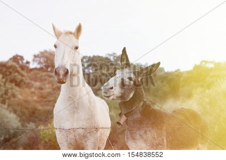 Beautiful white horse with a gray donkey with big ears in the field