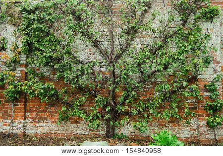 A Tree growing flat against a brick wall