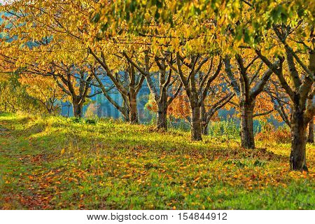 Row of chestnut trees on a sunny fall day