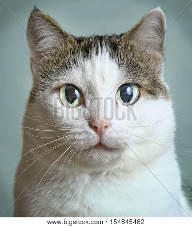 siberian cat close up art photo portrait