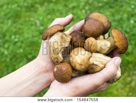 Handful of porcini mushrooms (Boletus edulis) against the green grass background.