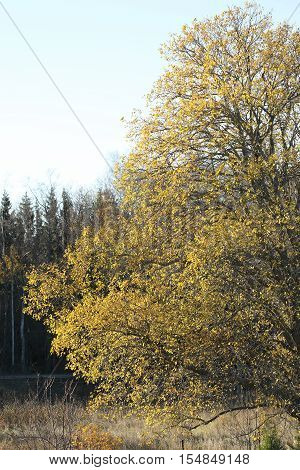 Yellow sallow tree during autumn, blue sky in the background