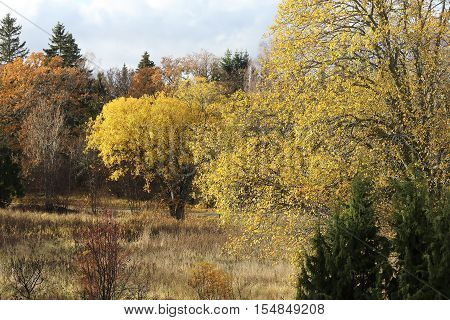 Yellow sallow tree during autumn, clouds in the background