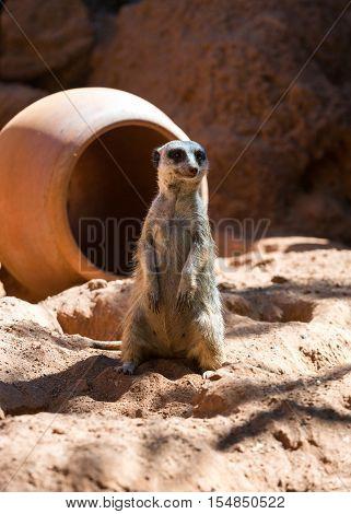 Meerkat stands guard (Suricata suricatta) in safari park