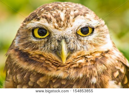 Portrait of burrowing owl looking directly to the camera against blurred vegetation