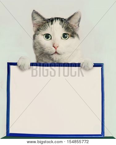 tom male adult cat hold blank paper in frame with copy space close up photo