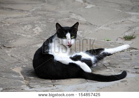 Black and white stray cat sits on the road
